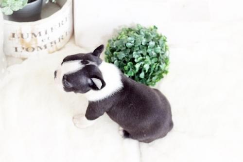 ボストンテリアの子犬(ID:1255411805)の4枚目の写真/更新日:2019-05-07