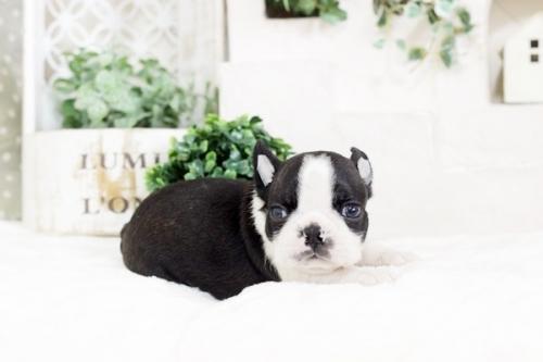 ボストンテリアの子犬(ID:1255411806)の1枚目の写真/更新日:2017-11-10