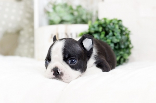 ボストンテリアの子犬(ID:1255411806)の2枚目の写真/更新日:2017-11-10