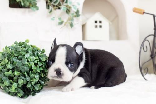 ボストンテリアの子犬(ID:1255411806)の3枚目の写真/更新日:2019-06-02