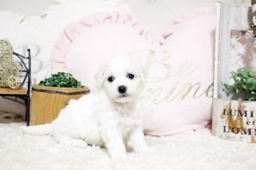 ビションフリーゼの子犬(ID:1255411807)の2枚目の写真/更新日:2020-04-28