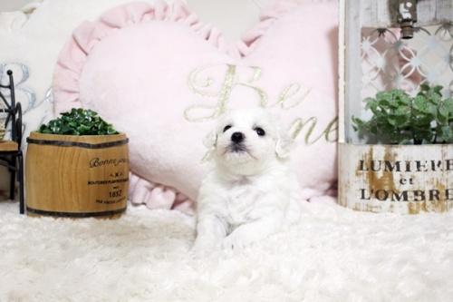 ビションフリーゼの子犬(ID:1255411807)の3枚目の写真/更新日:2020-04-28