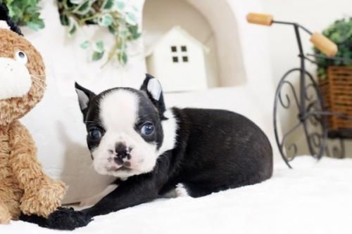 ボストンテリアの子犬(ID:1255411808)の1枚目の写真/更新日:2019-06-02