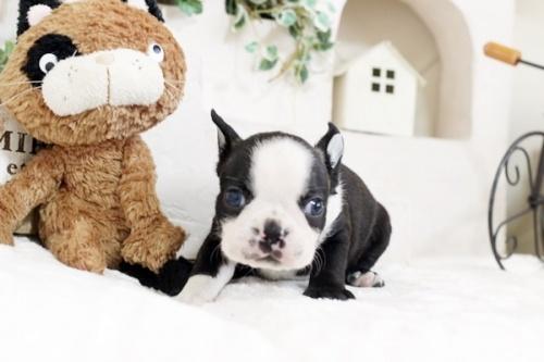 ボストンテリアの子犬(ID:1255411808)の2枚目の写真/更新日:2019-06-02