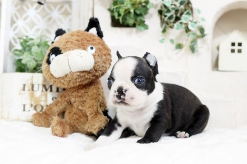 ボストンテリアの子犬(ID:1255411808)の3枚目の写真/更新日:2019-06-02