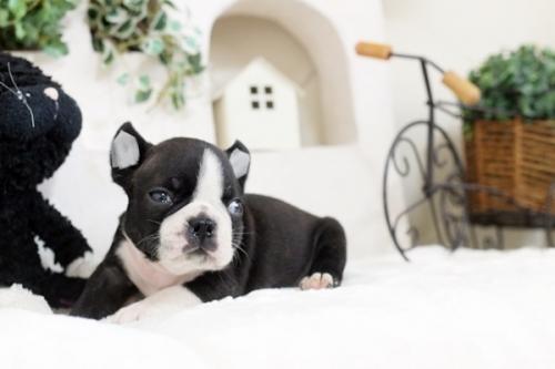 ボストンテリアの子犬(ID:1255411809)の2枚目の写真/更新日:2017-12-22