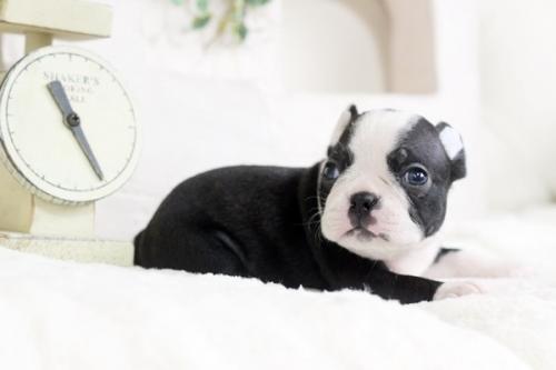 ボストンテリアの子犬(ID:1255411810)の2枚目の写真/更新日:2019-08-22