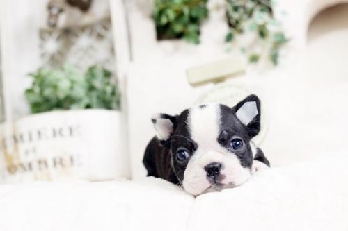 ボストンテリアの子犬(ID:1255411810)の3枚目の写真/更新日:2017-11-13