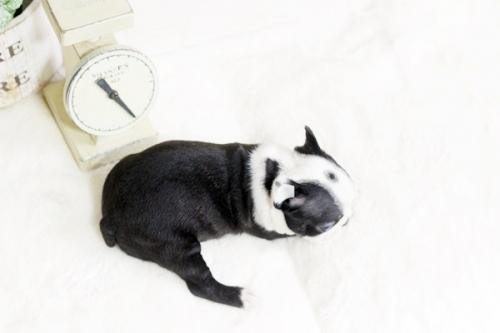ボストンテリアの子犬(ID:1255411810)の4枚目の写真/更新日:2019-08-22