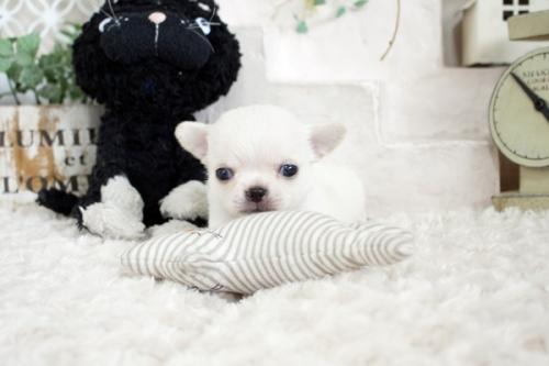 チワワ(ロング)の子犬(ID:1255411811)の1枚目の写真/更新日:2017-11-17