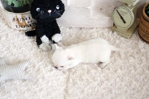 チワワ(ロング)の子犬(ID:1255411811)の4枚目の写真/更新日:2017-11-17