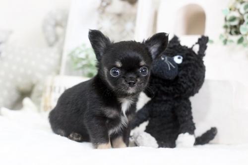 チワワ(ロング)の子犬(ID:1255411812)の1枚目の写真/更新日:2017-11-17