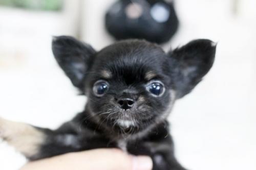 チワワ(ロング)の子犬(ID:1255411812)の2枚目の写真/更新日:2018-06-05