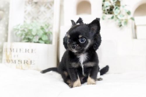 チワワ(ロング)の子犬(ID:1255411812)の3枚目の写真/更新日:2017-11-17