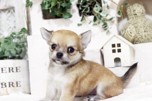 チワワ(ロング)の子犬(ID:1255411813)の1枚目の写真/更新日:2017-11-17