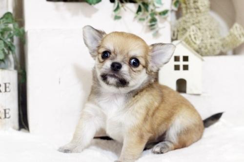 チワワ(ロング)の子犬(ID:1255411813)の2枚目の写真/更新日:2017-11-17
