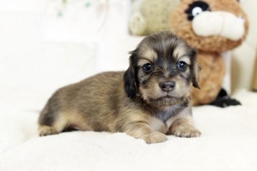 カニンヘンダックスフンド(ロング)の子犬(ID:1255411814)の1枚目の写真/更新日:2017-11-17