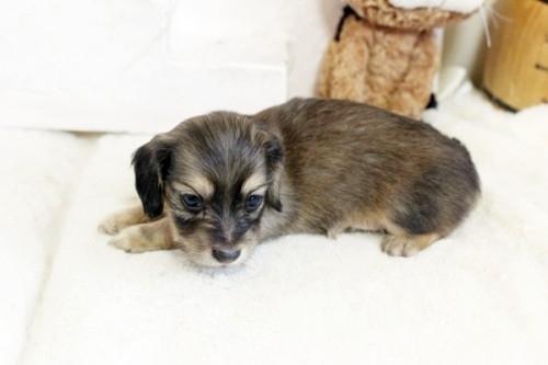 カニンヘンダックスフンド(ロング)の子犬(ID:1255411814)の2枚目の写真/更新日:2017-11-17