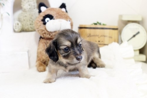 カニンヘンダックスフンド(ロング)の子犬(ID:1255411814)の3枚目の写真/更新日:2017-11-17