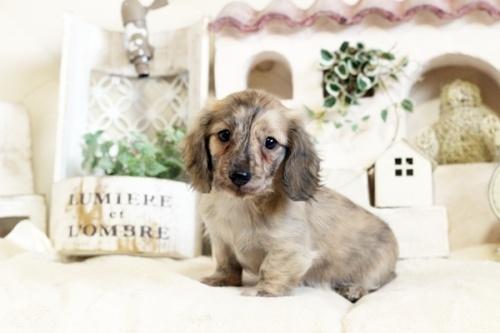 カニンヘンダックスフンド(ロング)の子犬(ID:1255411815)の1枚目の写真/更新日:2017-11-17