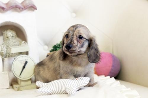 カニンヘンダックスフンド(ロング)の子犬(ID:1255411815)の2枚目の写真/更新日:2017-11-17
