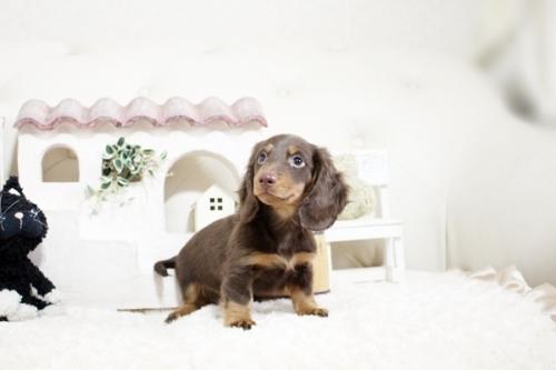 カニンヘンダックスフンド(ロング)の子犬(ID:1255411816)の1枚目の写真/更新日:2017-11-17