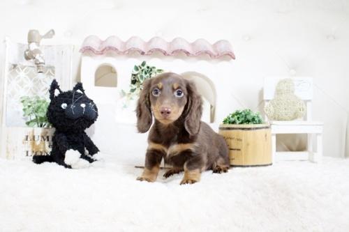 カニンヘンダックスフンド(ロング)の子犬(ID:1255411816)の2枚目の写真/更新日:2021-04-29