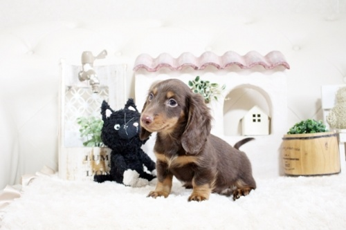 カニンヘンダックスフンド(ロング)の子犬(ID:1255411816)の3枚目の写真/更新日:2017-11-17