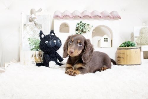 カニンヘンダックスフンド(ロング)の子犬(ID:1255411816)の4枚目の写真/更新日:2021-04-29
