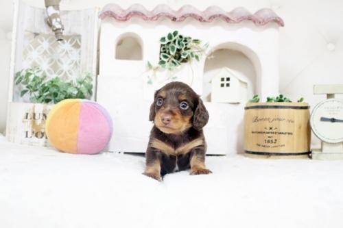 カニンヘンダックスフンド(ロング)の子犬(ID:1255411817)の1枚目の写真/更新日:2017-11-17