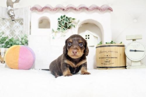 カニンヘンダックスフンド(ロング)の子犬(ID:1255411817)の2枚目の写真/更新日:2021-05-13