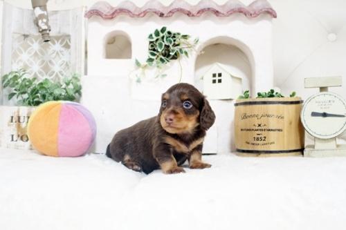 カニンヘンダックスフンド(ロング)の子犬(ID:1255411817)の3枚目の写真/更新日:2017-11-17