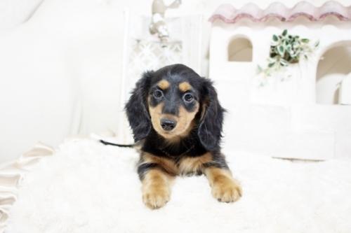 カニンヘンダックスフンド(ロング)の子犬(ID:1255411818)の1枚目の写真/更新日:2017-11-17