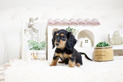 カニンヘンダックスフンド(ロング)の子犬(ID:1255411818)の2枚目の写真/更新日:2017-11-17