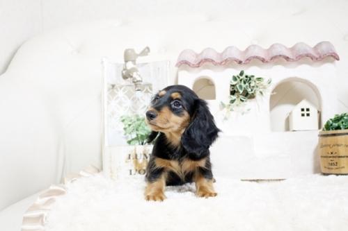 カニンヘンダックスフンド(ロング)の子犬(ID:1255411818)の3枚目の写真/更新日:2017-11-17
