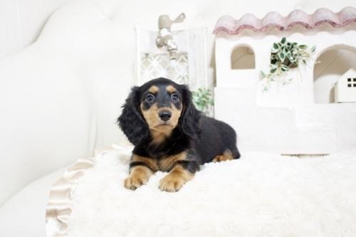カニンヘンダックスフンド(ロング)の子犬(ID:1255411818)の4枚目の写真/更新日:2017-11-17
