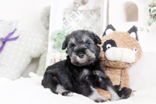 ミニチュアシュナウザーの子犬(ID:1255411819)の1枚目の写真/更新日:2017-11-17