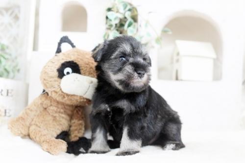 ミニチュアシュナウザーの子犬(ID:1255411819)の2枚目の写真/更新日:2017-11-17