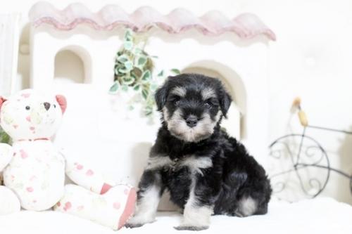 ミニチュアシュナウザーの子犬(ID:1255411820)の1枚目の写真/更新日:2019-11-28