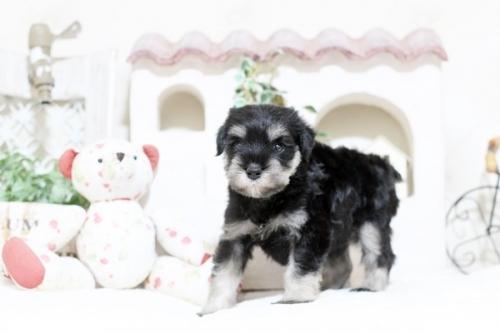 ミニチュアシュナウザーの子犬(ID:1255411820)の2枚目の写真/更新日:2017-11-17