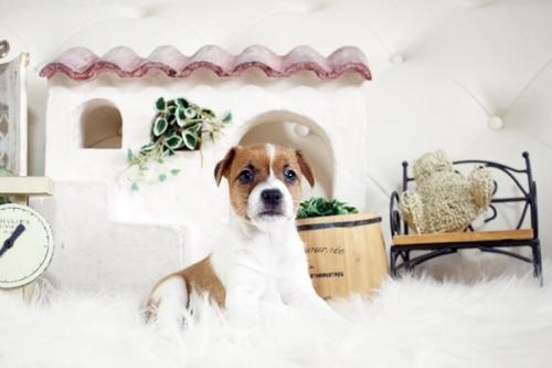ジャックラッセルテリアの子犬(ID:1255411821)の1枚目の写真/更新日:2017-11-22