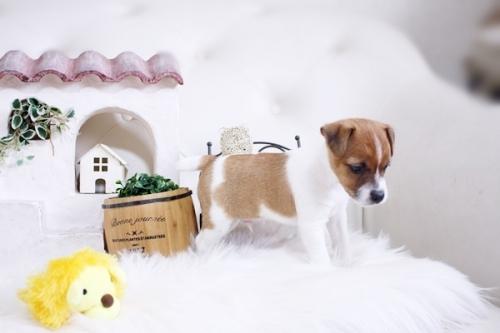 ジャックラッセルテリアの子犬(ID:1255411821)の4枚目の写真/更新日:2017-11-22