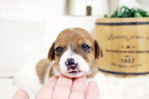 ジャックラッセルテリアの子犬(ID:1255411822)の1枚目の写真/更新日:2017-11-22