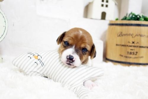 ジャックラッセルテリアの子犬(ID:1255411822)の2枚目の写真/更新日:2017-11-22
