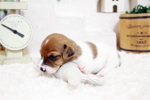 ジャックラッセルテリアの子犬(ID:1255411822)の3枚目の写真/更新日:2019-10-11
