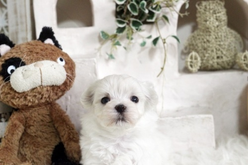 マルチーズの子犬(ID:1255411823)の1枚目の写真/更新日:2017-11-29