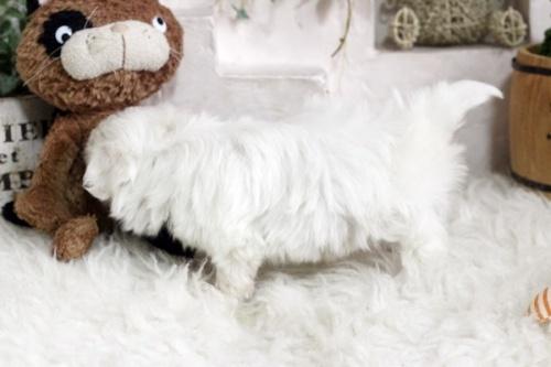 マルチーズの子犬(ID:1255411823)の3枚目の写真/更新日:2020-12-21