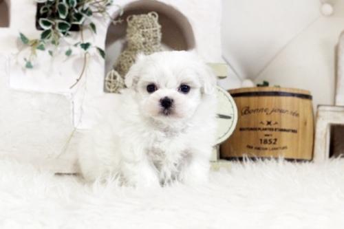 マルチーズの子犬(ID:1255411824)の1枚目の写真/更新日:2020-12-29