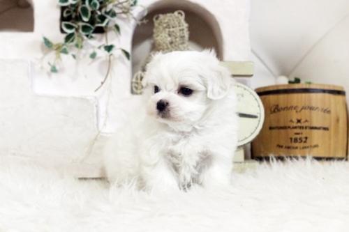 マルチーズの子犬(ID:1255411824)の2枚目の写真/更新日:2017-11-29