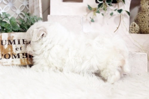 マルチーズの子犬(ID:1255411824)の3枚目の写真/更新日:2020-12-29